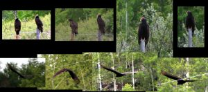 turkey vulture collection